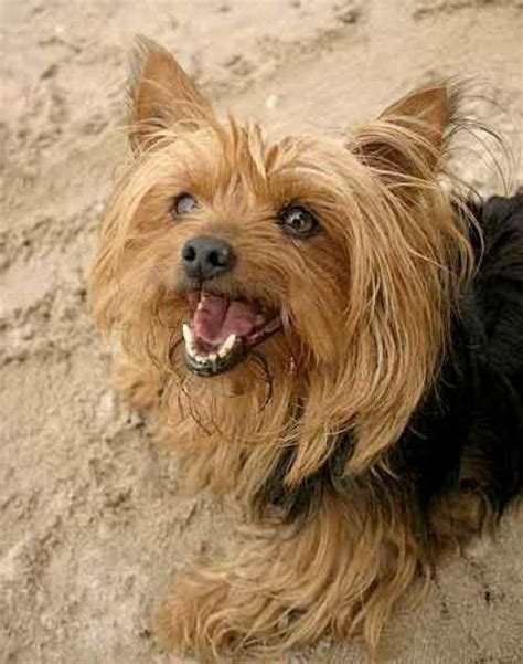 short haired dorkie mixes search results for silky hair yorkie hair cuts black