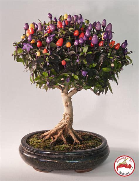Pohon Ginseng fatalii s growing guide bonsai chiles bonchi