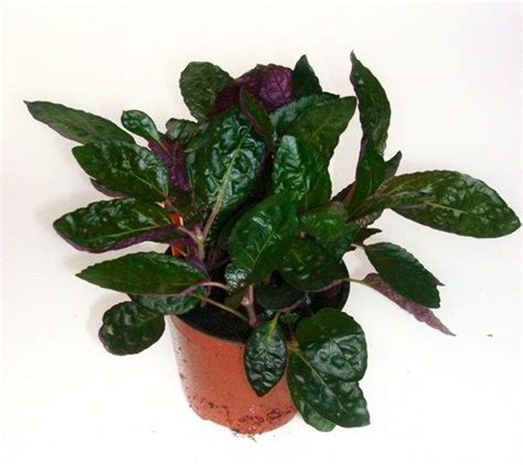 Tanaman Calathea White Fusion pin by griffin on plants non toxic to dogs
