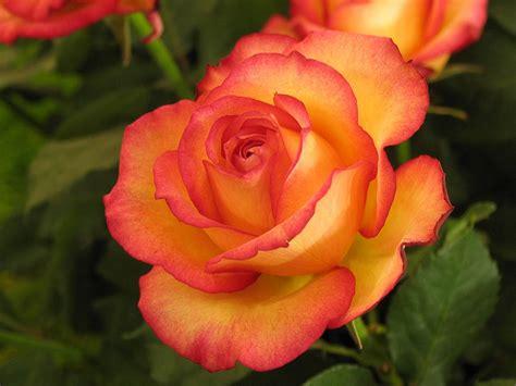 rosa mistica madonna fiore rosa mix