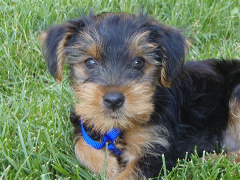 yorkie breed all about yorkies