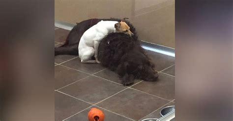 these dogs that comforted each other in shelter have now these shelter dogs found comfort in one another