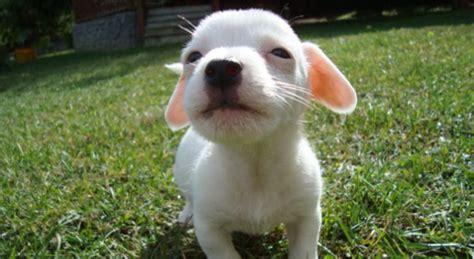 cagnolini da appartamento razze di cani di piccola taglia divise per carattere