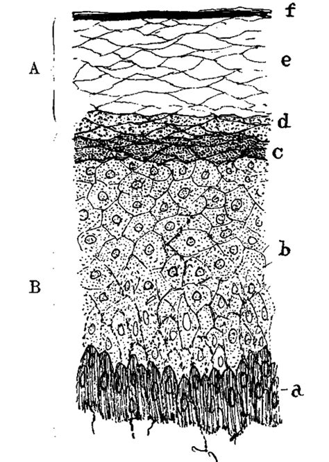 vertical section of the skin a development of the hoof