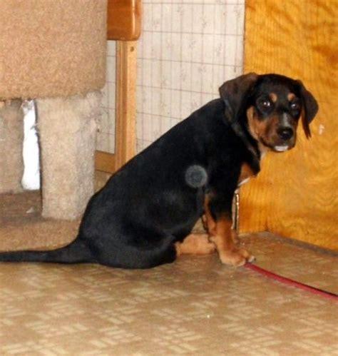 rottweiler basset mix basset hound rottweiler mix picture and description allmutt
