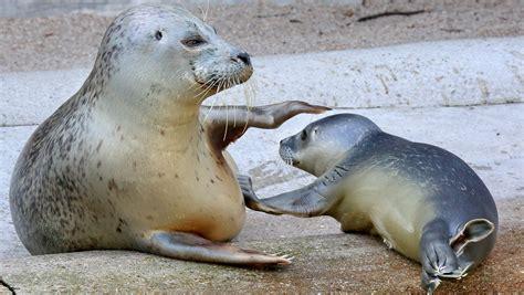 Zoo Karlsruhe: Seehund-Baby Dörle am 20. August 2015 ... Seehund