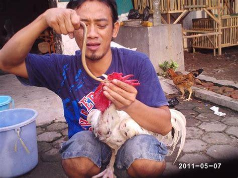 Bibit Belut Surabaya belut bermanfaat untuk menjernihkan suara ayam kontes