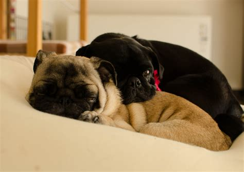 two pugs cuddly pug pile about pug