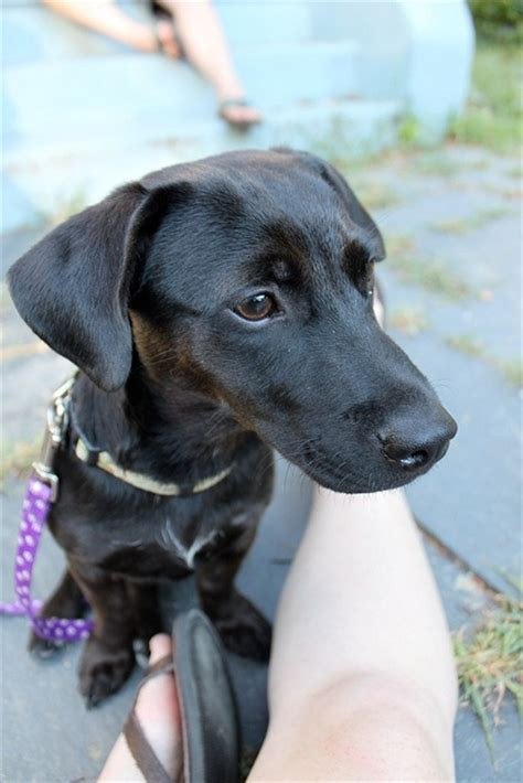 dachshund lab mix puppy lab and dachshund mix breeds picture