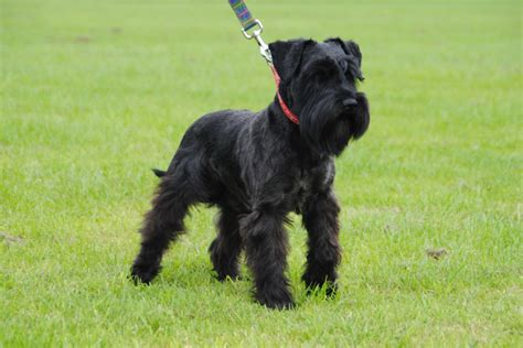 black miniature schnauzer puppies black miniature schnauzer puppies boys only ipswich suffolk pets4homes