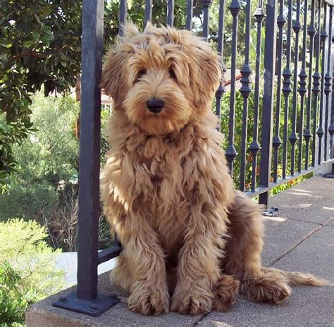 golden labradoodle puppy beau monde the finest australian labradoodles in riverside california golden