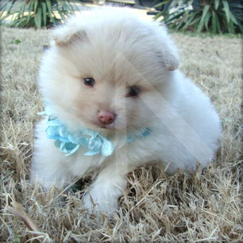 adopt a pomeranian for free baby dull pomeranian puppies for free adoption in cyprus