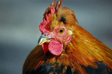 testa di gallo gallo testa free image su 4 free fotografie