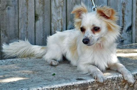 papillion tail how long to keep hair tail waggers dogs pinterest long hair chihuahua