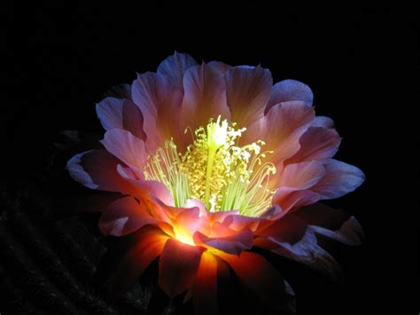 flowers that bloom at night 26 best images about night blooming flowers on pinterest