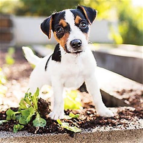 petsmart puppy school understanding puppy petsmart 174