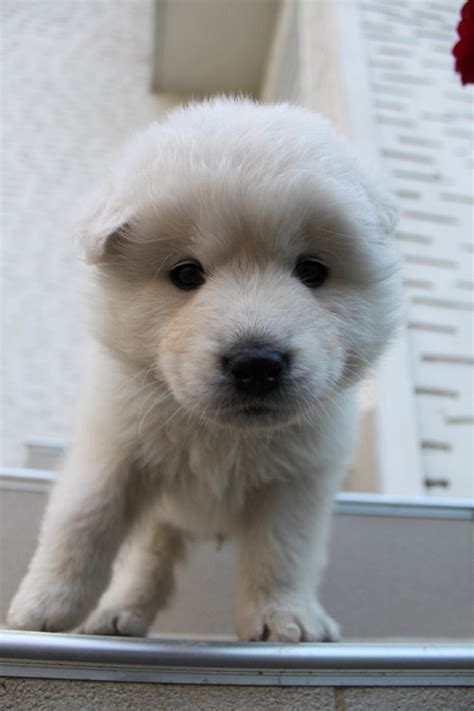 samoyed golden retriever mix samoyed and golden retriever mix puppy bored panda