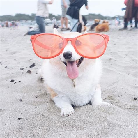 corgis shemazing san francisco s corgicon was officially the cutest thing