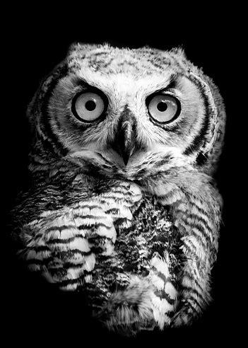 Owl Portrait Stock Photo - Download Image Now - iStock
