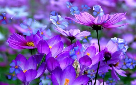 purple and blue cosmos and crocuses hd fond d 233 cran