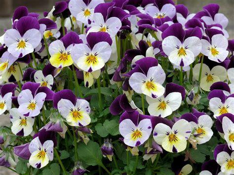 elisia bloemen gratis foto viooltjes bloemen paars wit gratis