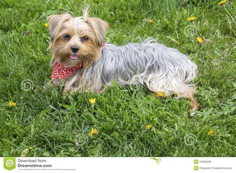 yorkie grass a yorkie sitting on grass in the stock photo image 54038209