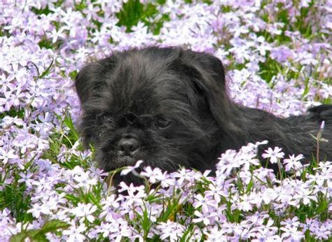pug and cairn terrier mix pug and cairn terrier pug mixed breeds terriers pug and cairn terriers