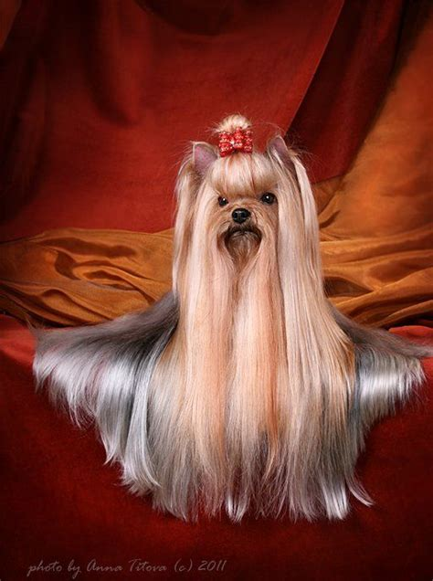 show yorkies pin by donna hughes on yorkie hair cuts