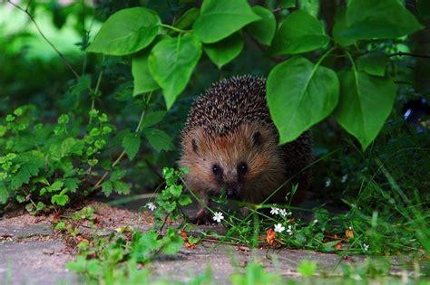 how to get hedgehogs in your garden