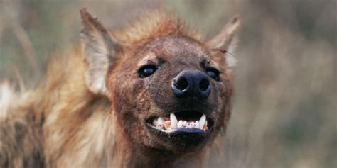 is a hyena a hyena s bad smell may stem from bacteria not animal itself huffpost