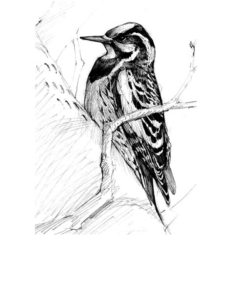 North American Bird Sketches Drawing The Motmot Drawing Sketch