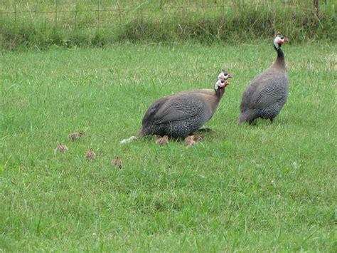 guinea fowl family rural ramblings
