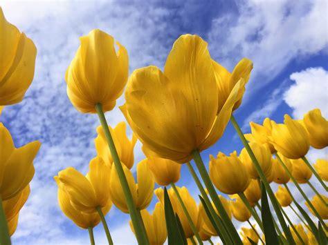 imagenes gratis eu descargar foto gratis de tulipanes amarillos gt http