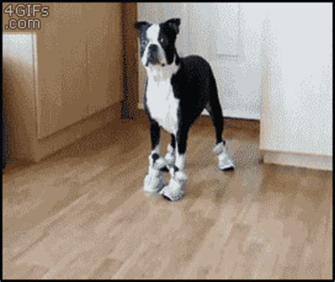 dogs walking in shoes walking in shoes gif