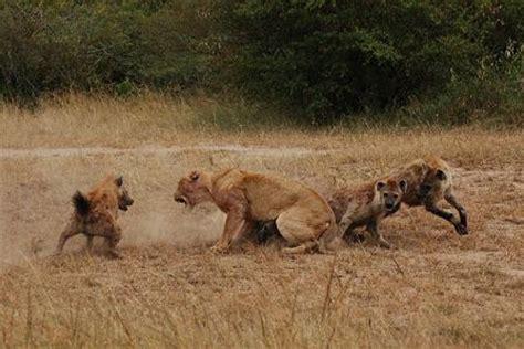 imagenes de leones vs hienas leones vs hienas impresionante videos de animales