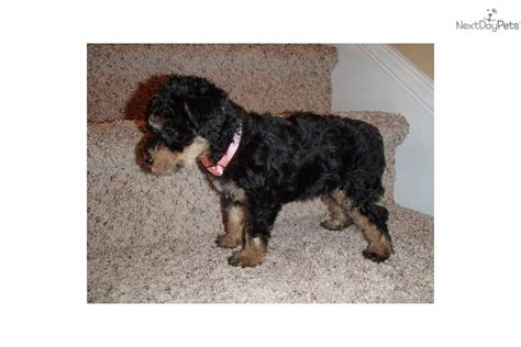 yorkies for sale in ottawa 13 week yorkie breeds picture
