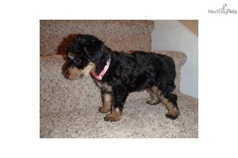 yorkie puppies wilmington nc 13 week yorkie breeds picture