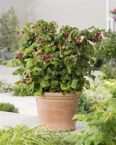 8 of the best berries to grow in containers myhomemagazines com
