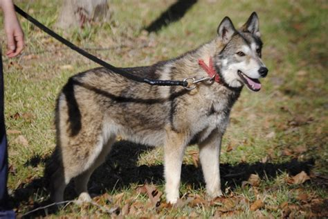 tamaskan puppies for adoption the tamaskan club of america home puppies for sale tamaskan breeds picture