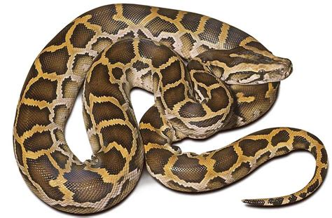 Burm Home by Burmese Python Scales N Tails