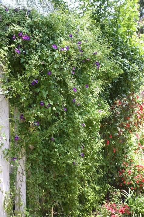 perennial climbing plants with flowers flowering vines zone 2 vines 2 zone flowering