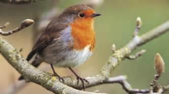 Birds bird behaviour birds and windows birds attacking windows birds