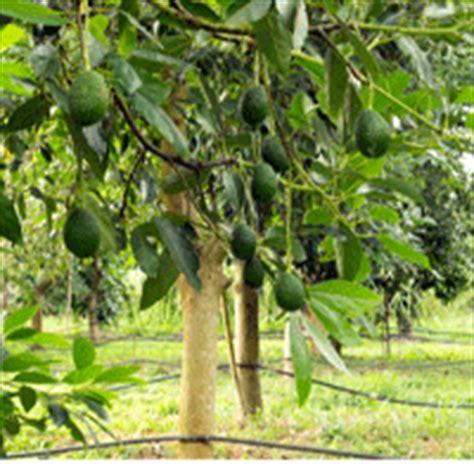 bacon avocado trees buy   nature hills nursery