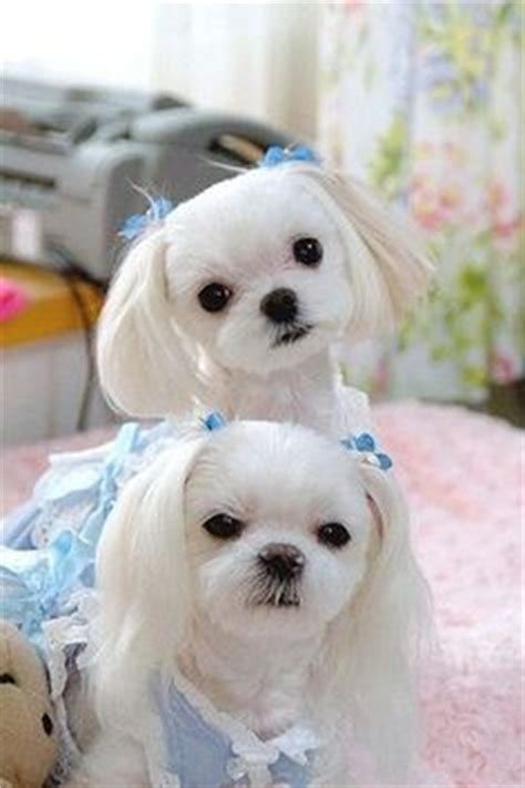 how to give my maltese yorky a haircut maltipoo haircuts purchasing from backyard breeders pet