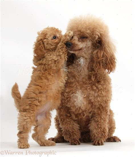 lifespan of standard poodle dogs poodle and puppy photo wp39503