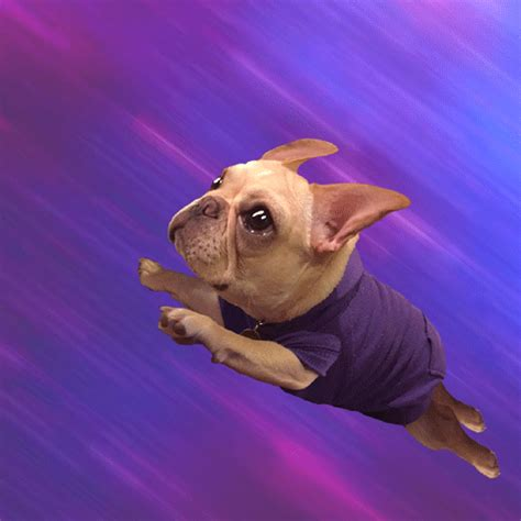 gif images frenchie gifs find on giphy