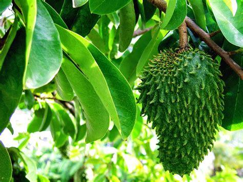 pakej percutian bukittinggi padang buah durian belanda sirsak