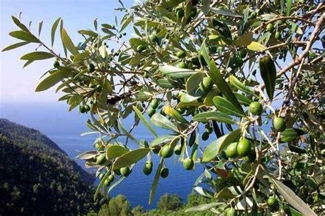 olive fiore di bach olive fiori di bach rimedi naturali olive il fiore di