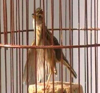 Pakan Branjangan tips cara merawat burung branjangan agar cepat gacor