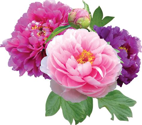 peony clipart peony graphic www imgkid the image kid has it
